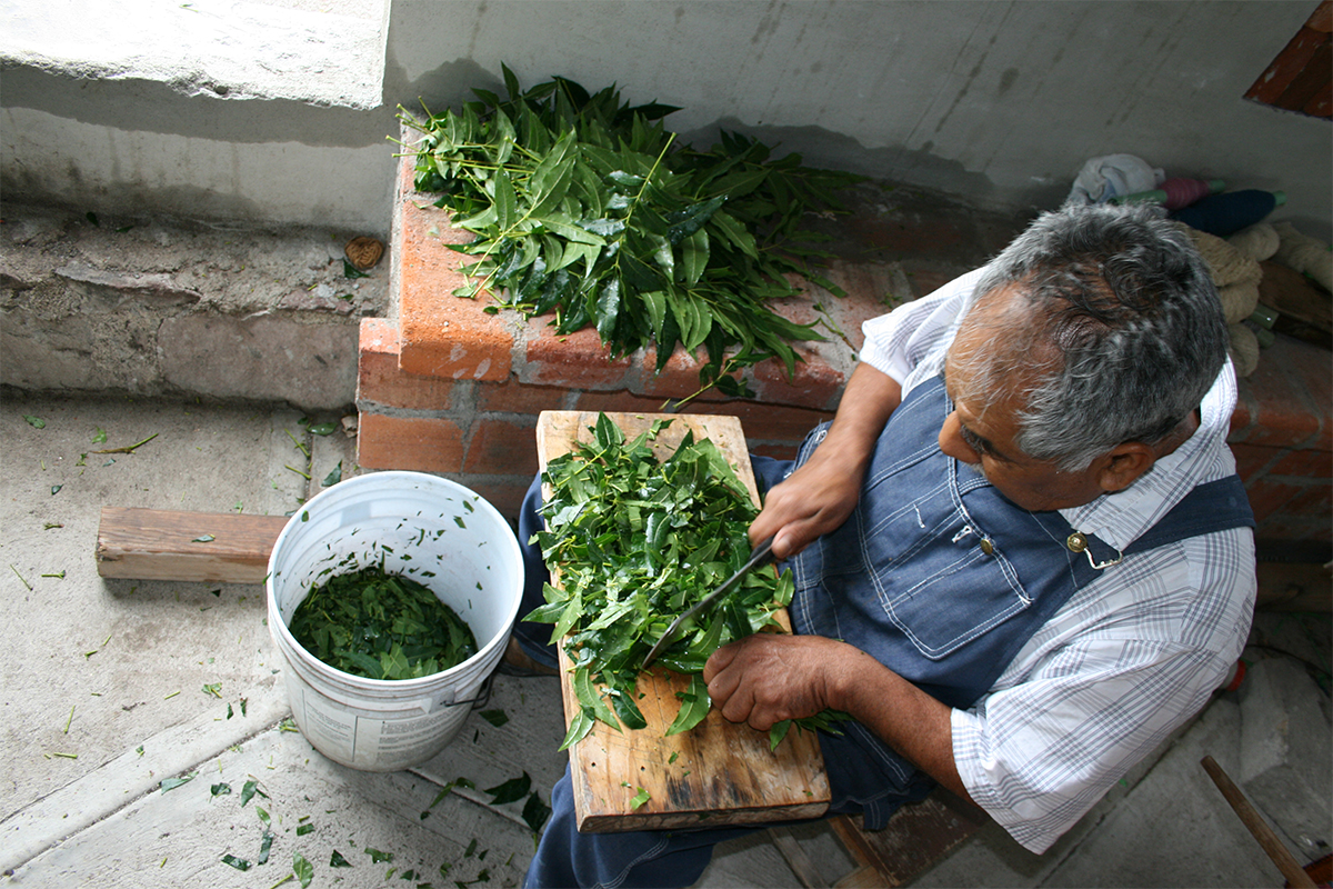 Arturo Hernández, photo of walnut leaf cutting for natural dye extraction. Courtesy of the artist.